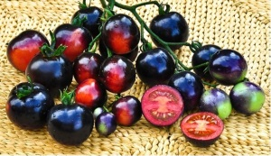 Indigo Rose tomato bred by Jim Myers of Oregon State University