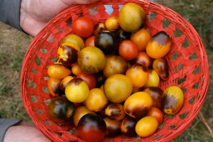 Sweet and flavorful black tomates Jim Myers has under development (photo by Cheryl Brock/Slow Food Portland).